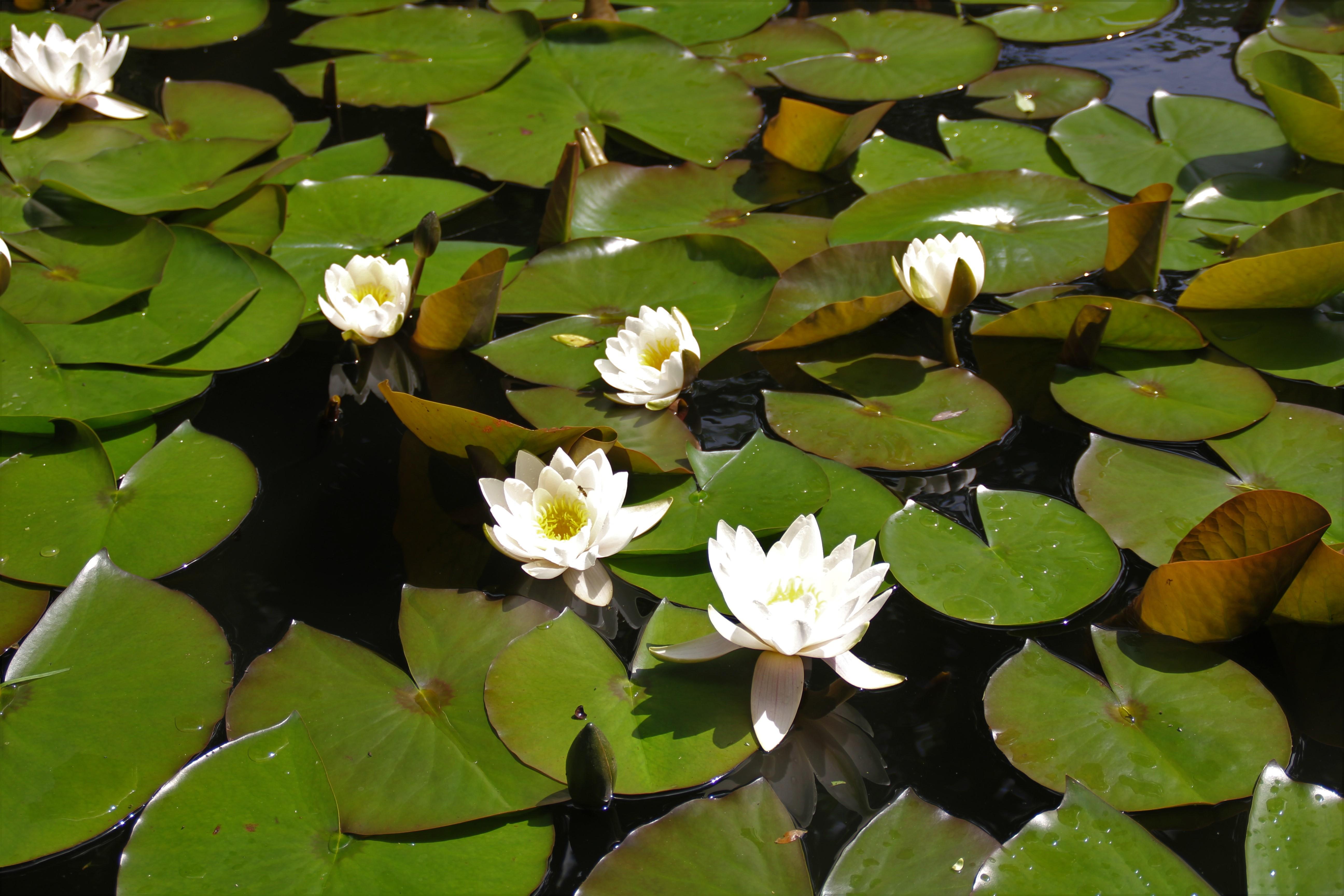 Lilie wodne w parku zamkowym